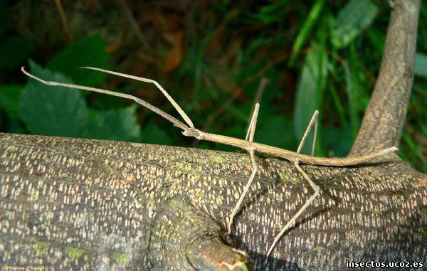 Insecto palo sobre tronco